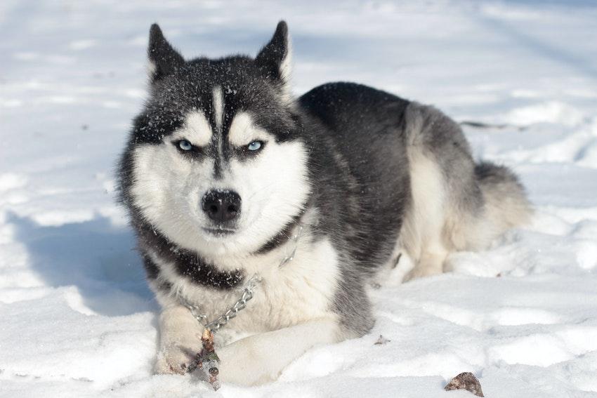 chien de traineaux allonge dans la neige