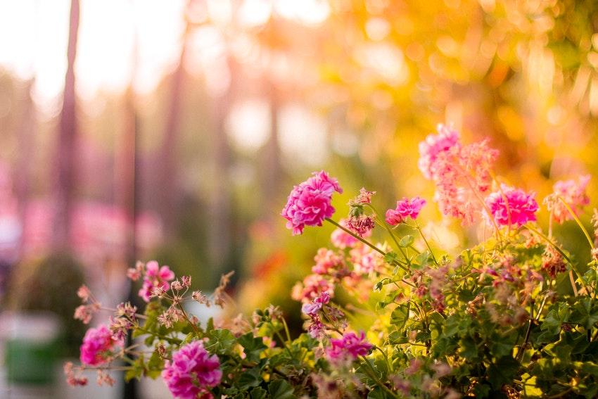 fleurs roses qui poussent dans un parc