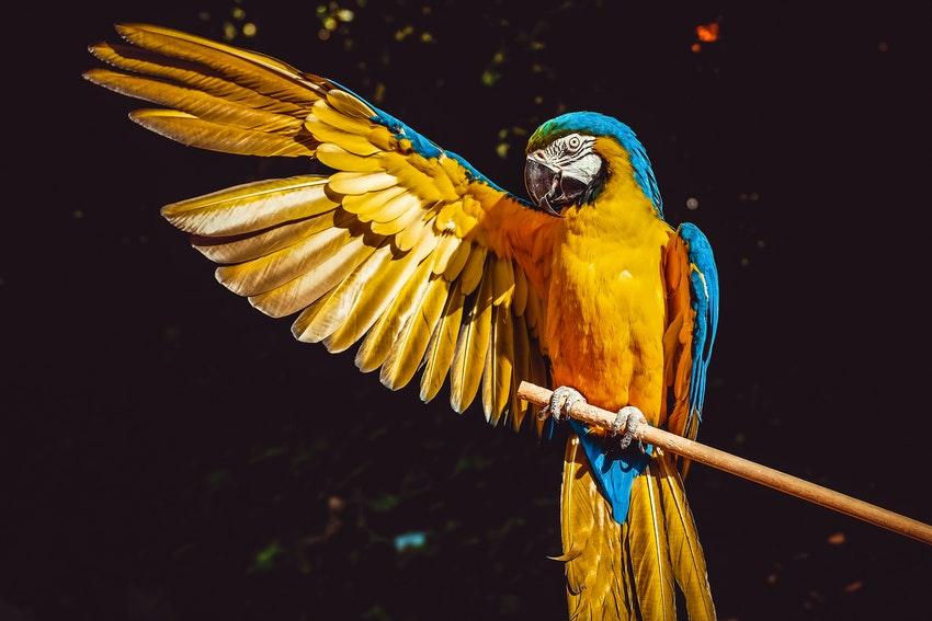 perroquet jaune et bleu qui tend son aile droite vers le haut