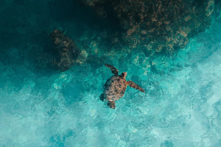 tortue de mer dans leau turquoise