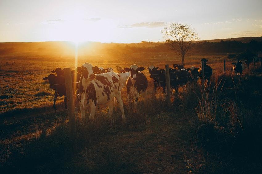 troupeau de vaches dans un champ au coucher du soleil