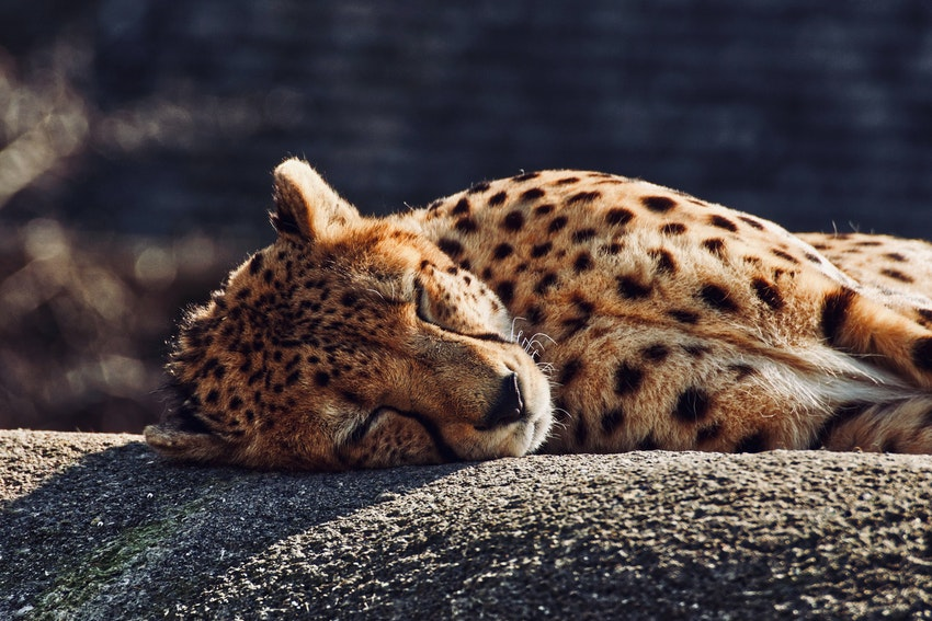guepard allonge sur un tronc darbre entrain de dormir